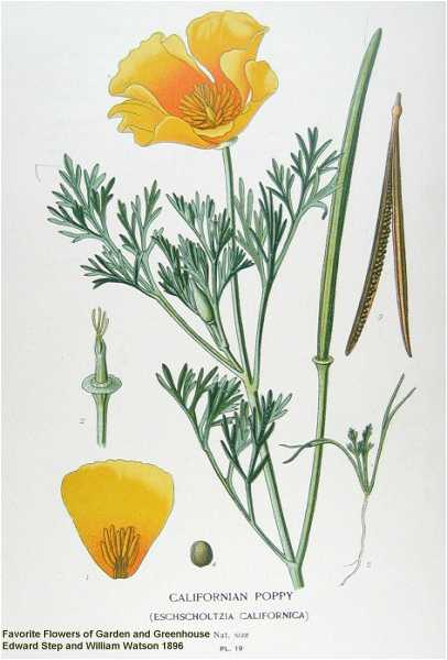 California poppy, the state flower