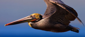 California brown pelican.