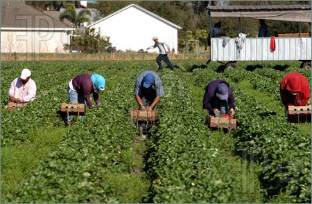 Strawberry harvest farm workers.