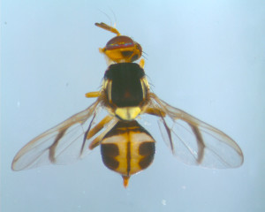 White striped fruit fly.